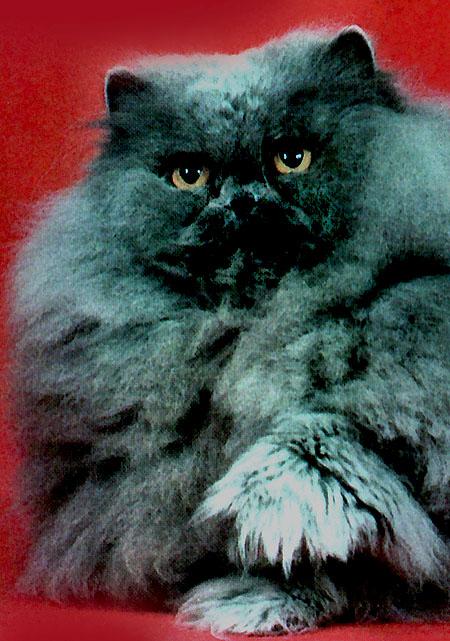 Q-T Cat's Laurie of Kelley Lane